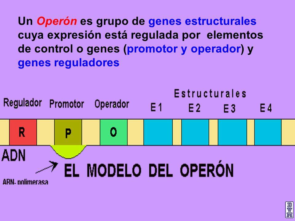 Un Operón es grupo de genes estructurales cuya expresión está regulada por elementos de control o genes (promotor y operador) y genes reguladores