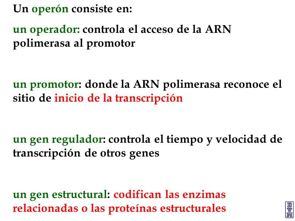 Un operón consiste en: un operador: controla el acceso de la ARN polimerasa al promotor un promotor: donde la ARN polimerasa reconoce el sitio de inic