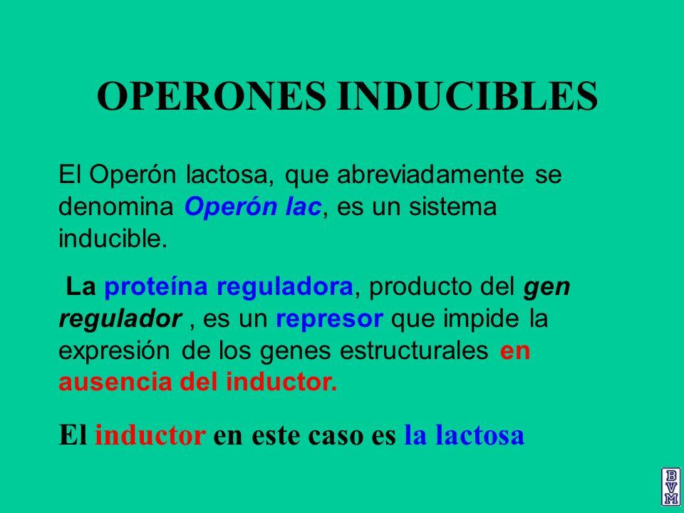 OPERONES INDUCIBLES El Operón lactosa, que abreviadamente se denomina Operón lac, es un sistema inducible. La proteína reguladora, producto del gen re