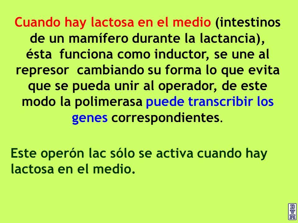 Cuando hay lactosa en el medio (intestinos de un mamífero durante la lactancia), ésta funciona como inductor, se une al represor cambiando su forma lo