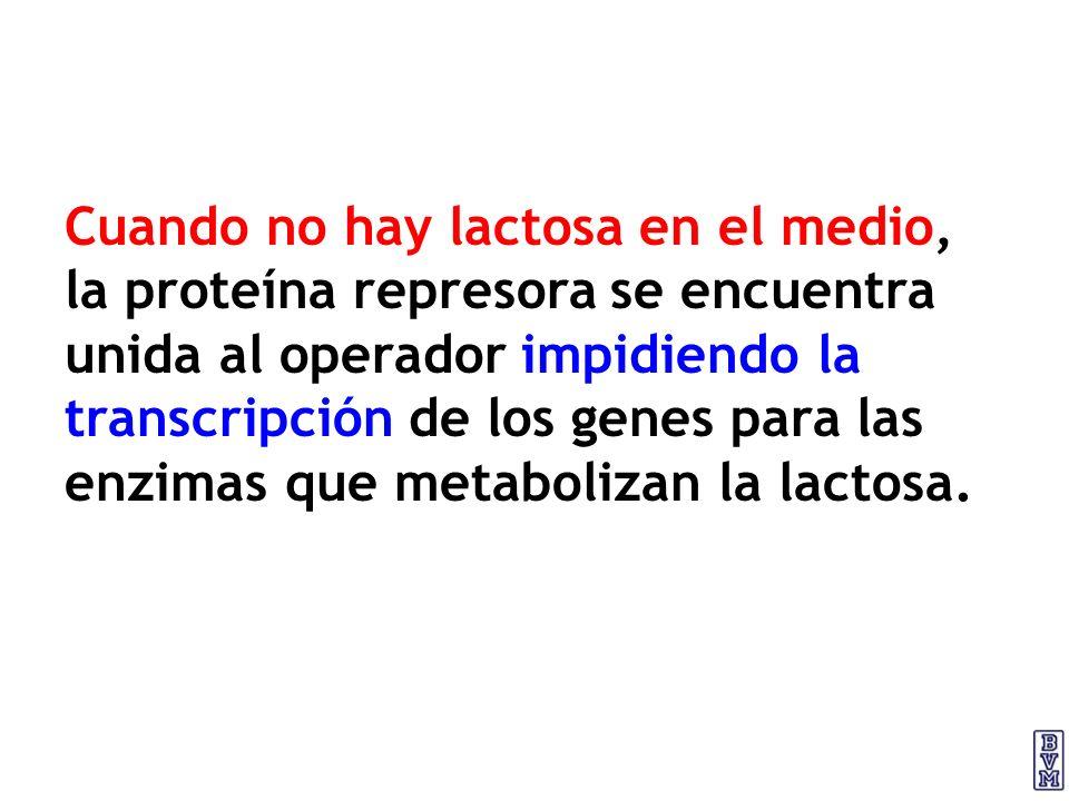 Cuando no hay lactosa en el medio, la proteína represora se encuentra unida al operador impidiendo la transcripción de los genes para las enzimas que