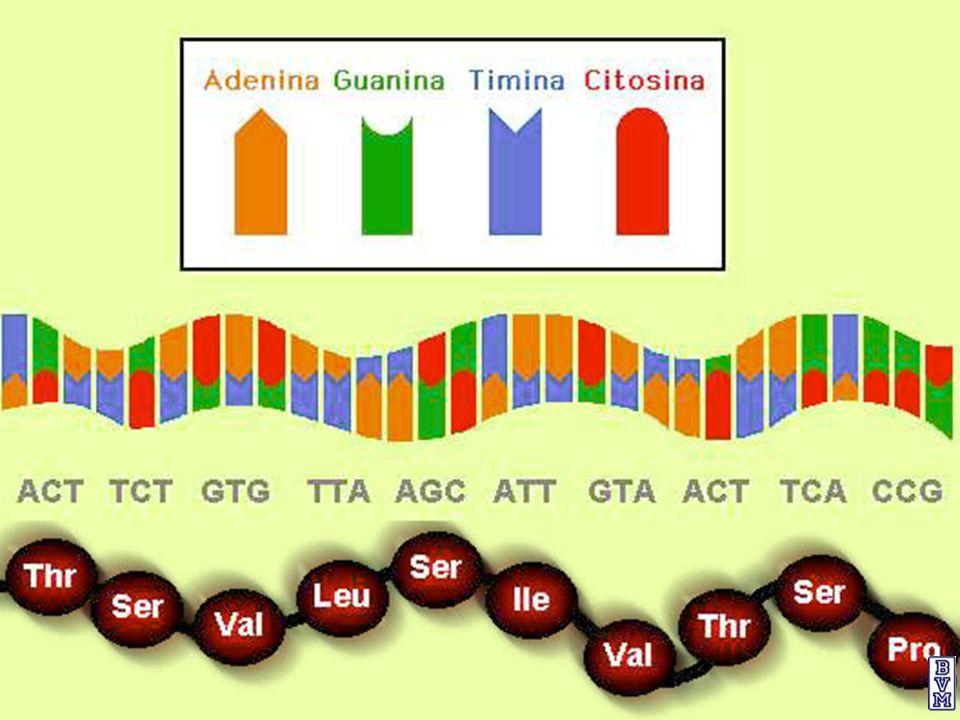 EL OPERÓN TRIPTÓFANO El operón triptófano (operón trp) es un sistema de tipo represible, ya que el aminoácido triptófano (Correpresor) impide la expresión de los genes necesarios para su propia síntesis cuando hay niveles elevados de triptófano.