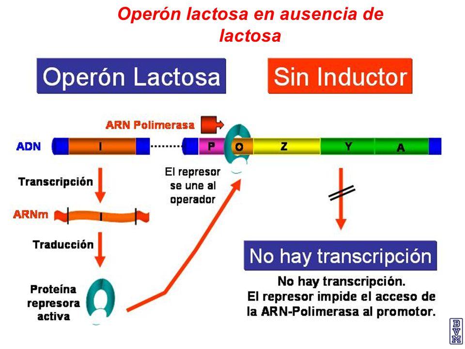 Operón lactosa en ausencia de lactosa