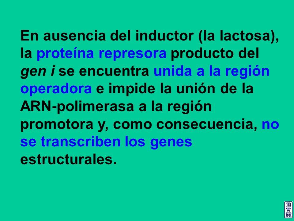 En ausencia del inductor (la lactosa), la proteína represora producto del gen i se encuentra unida a la región operadora e impide la unión de la ARN-p