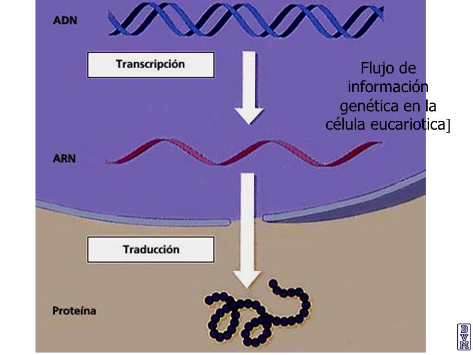 Flujo de información genética en la célula eucariotica ]