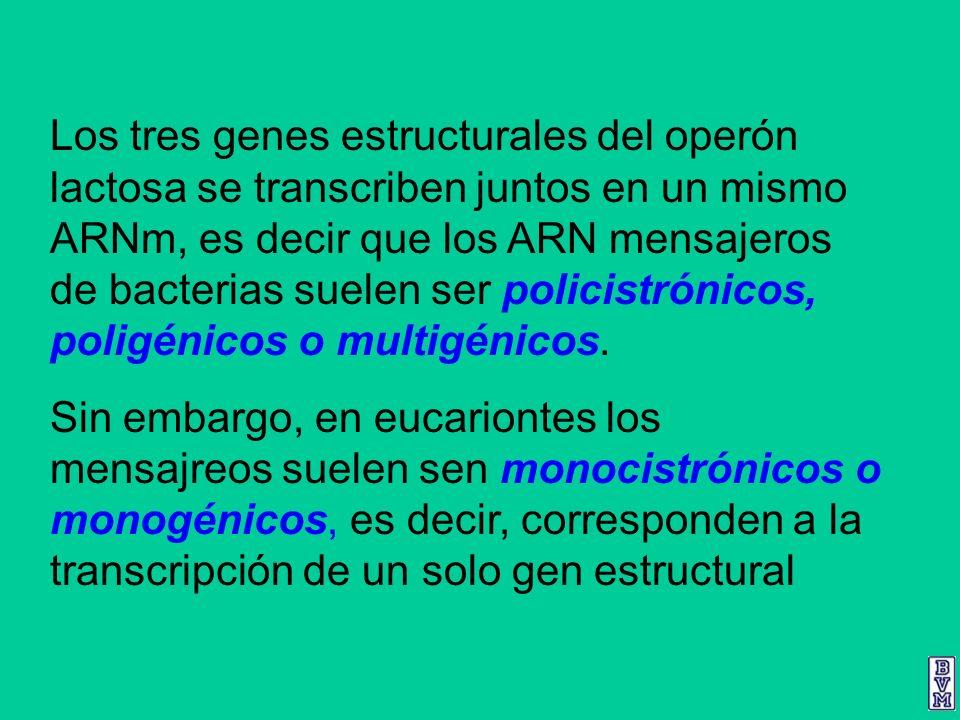 Los tres genes estructurales del operón lactosa se transcriben juntos en un mismo ARNm, es decir que los ARN mensajeros de bacterias suelen ser polici