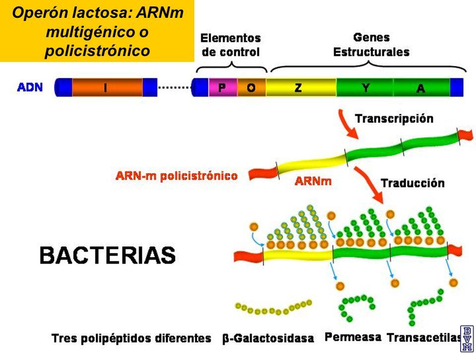 Operón lactosa: ARNm multigénico o policistrónico