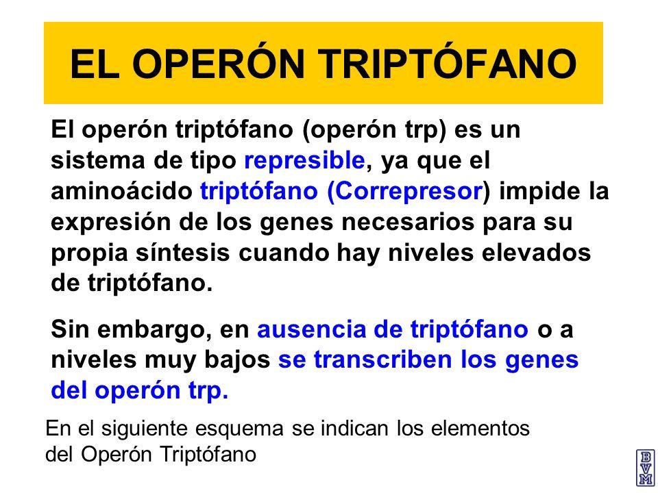 EL OPERÓN TRIPTÓFANO El operón triptófano (operón trp) es un sistema de tipo represible, ya que el aminoácido triptófano (Correpresor) impide la expre