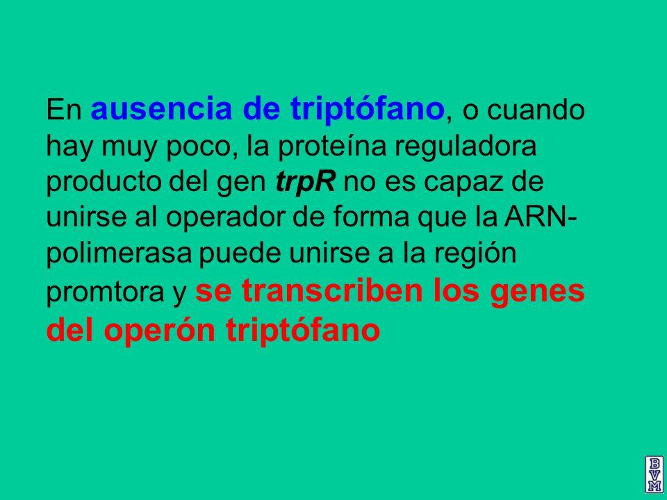 En ausencia de triptófano, o cuando hay muy poco, la proteína reguladora producto del gen trpR no es capaz de unirse al operador de forma que la ARN-