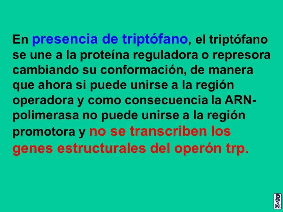 En presencia de triptófano, el triptófano se une a la proteína reguladora o represora cambiando su conformación, de manera que ahora si puede unirse a