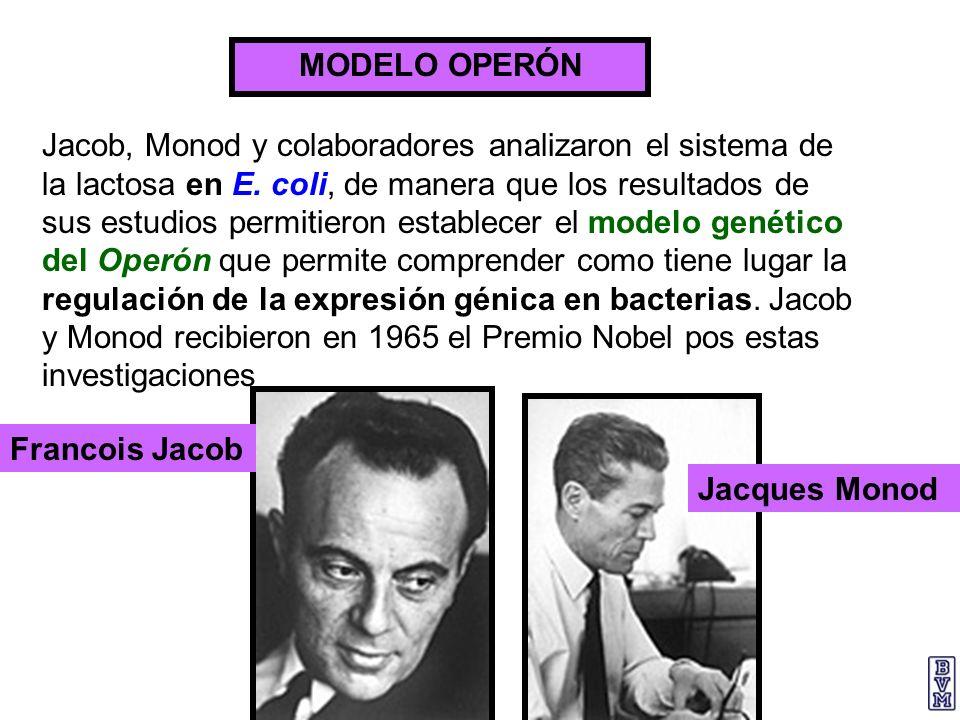 MODELO OPERÓN Jacob, Monod y colaboradores analizaron el sistema de la lactosa en E. coli, de manera que los resultados de sus estudios permitieron es