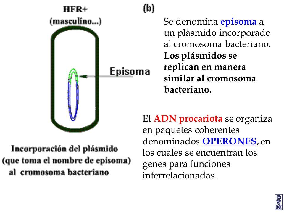 Se denomina episoma a un plásmido incorporado al cromosoma bacteriano. Los plásmidos se replican en manera similar al cromosoma bacteriano. El ADN pro