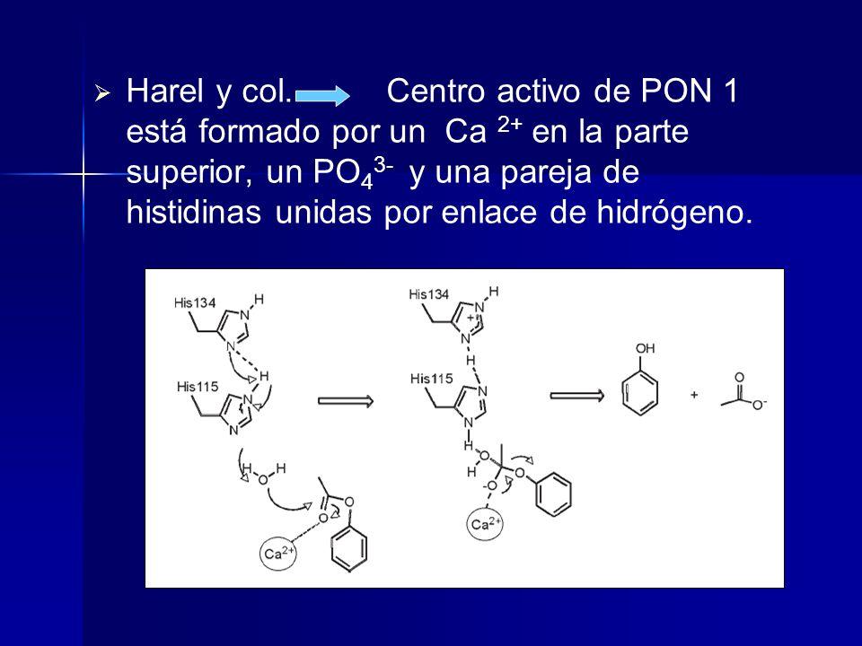 Harel y col. Centro activo de PON 1 está formado por un Ca 2+ en la parte superior, un PO 4 3- y una pareja de histidinas unidas por enlace de hidróge