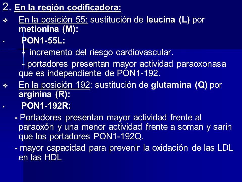 2. En la región codificadora: En la posición 55: sustitución de leucina (L) por metionina (M): PON1-55L: - incremento del riesgo cardiovascular. - por
