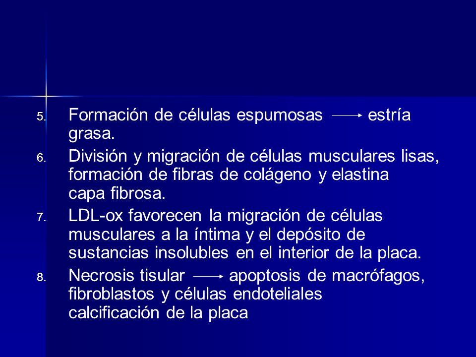 5. 5. Formación de células espumosas estría grasa. 6. 6. División y migración de células musculares lisas, formación de fibras de colágeno y elastina