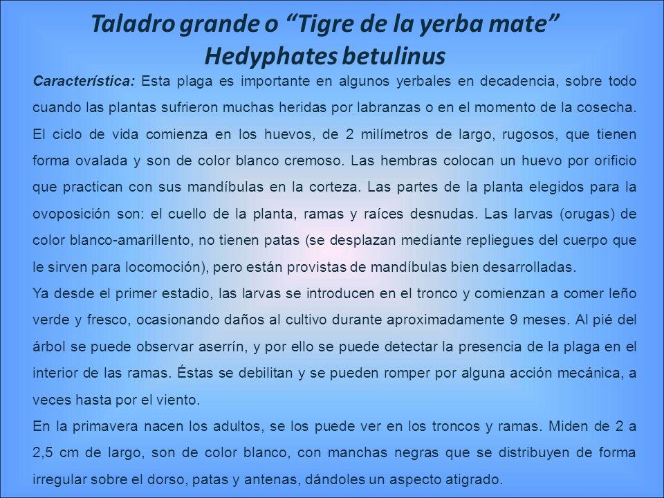 Taladro grande o Tigre de la yerba mate Hedyphates betulinus Característica: Esta plaga es importante en algunos yerbales en decadencia, sobre todo cu