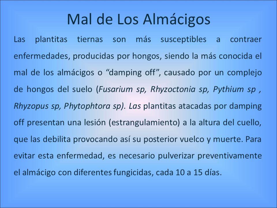 Mal de Los Almácigos Las plantitas tiernas son más susceptibles a contraer enfermedades, producidas por hongos, siendo la más conocida el mal de los a