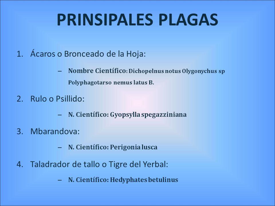 Ácaros Característica de los principales son: ácaro del bronceado de la yerba mate, Dichopelnus notus ácaro rojo, Oligonychus spp y ácaro blanco, Polyphagotarsonemus latus.