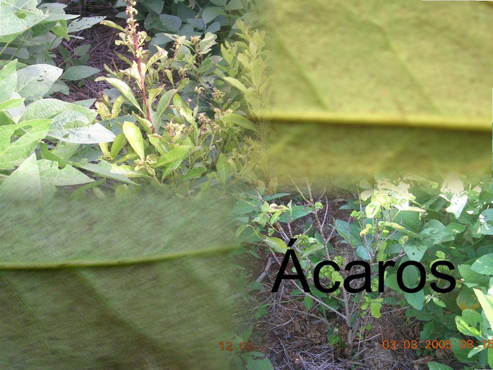 Caída de hojas: Al final del otoño se suele presentar esta anomalía que asusta a los productores que ven caer el resultado de sus esfuerzos.