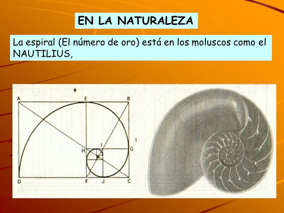 La espiral (El número de oro) está en los moluscos como el NAUTILIUS, EN LA NATURALEZA