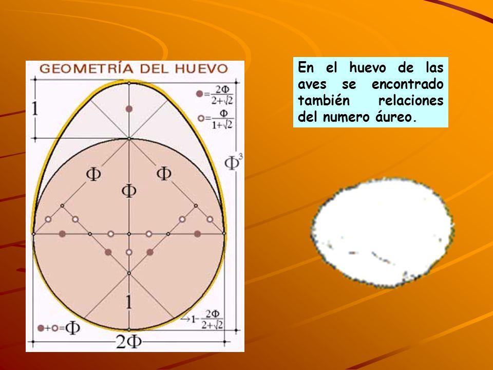 En el huevo de las aves se encontrado también relaciones del numero áureo.