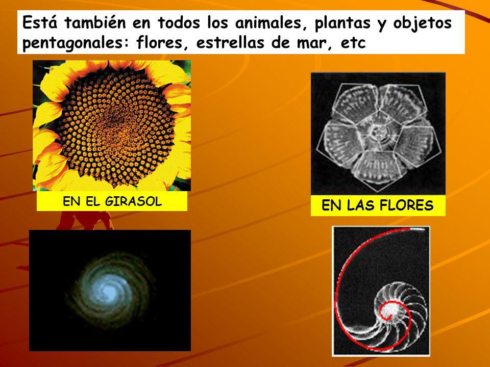 EN EL GIRASOL EN LAS FLORES Está también en todos los animales, plantas y objetos pentagonales: flores, estrellas de mar, etc