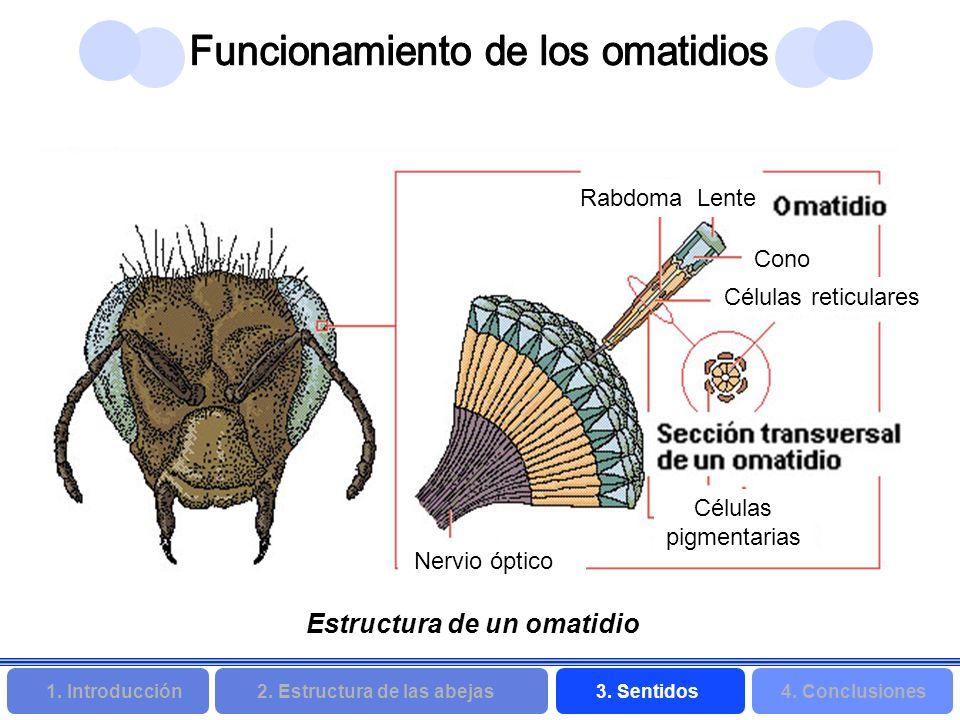 2. Estructura de las abejas 3. Sentidos4. Conclusiones 1. Introducción Rabdoma Lente Cono Células reticulares Nervio óptico Células pigmentarias Estru
