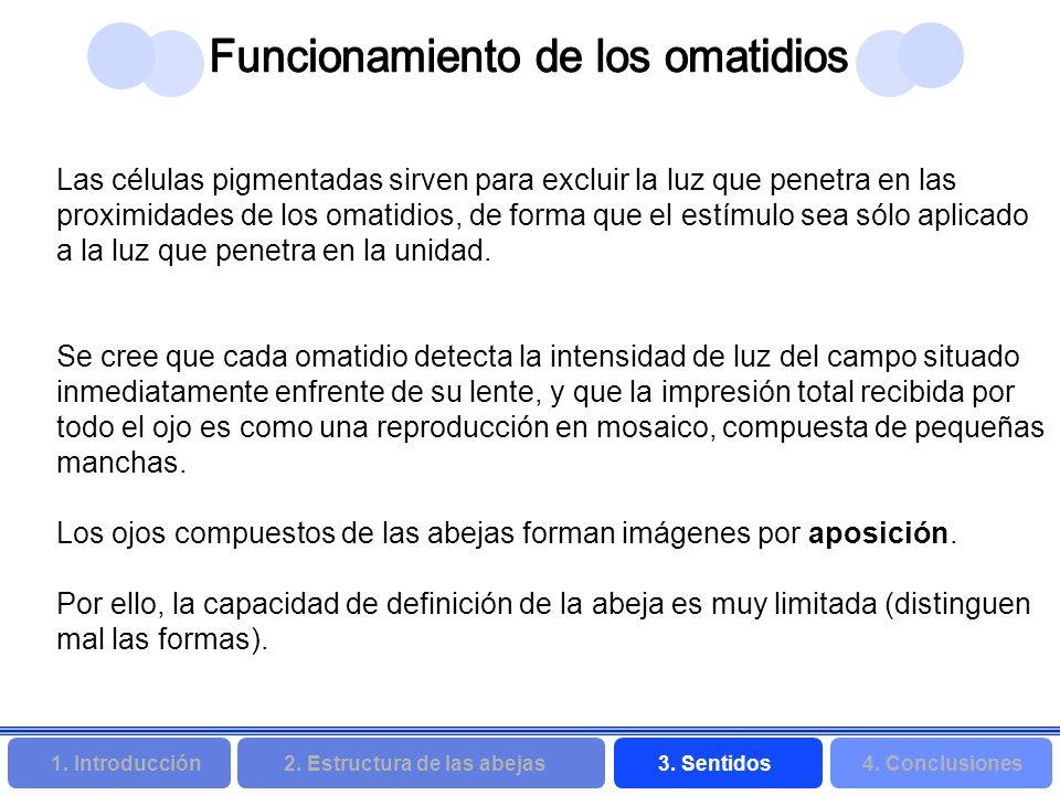 2. Estructura de las abejas 3. Sentidos4. Conclusiones 1. Introducción Las células pigmentadas sirven para excluir la luz que penetra en las proximida