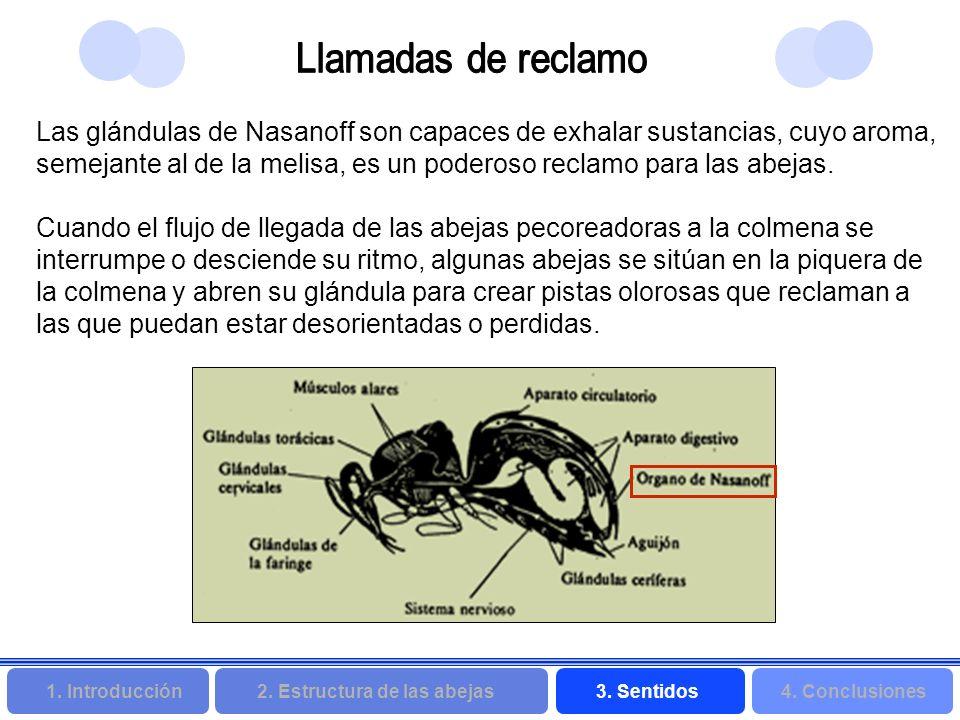 2. Estructura de las abejas 3. Sentidos4. Conclusiones 1. Introducción Las glándulas de Nasanoff son capaces de exhalar sustancias, cuyo aroma, semeja