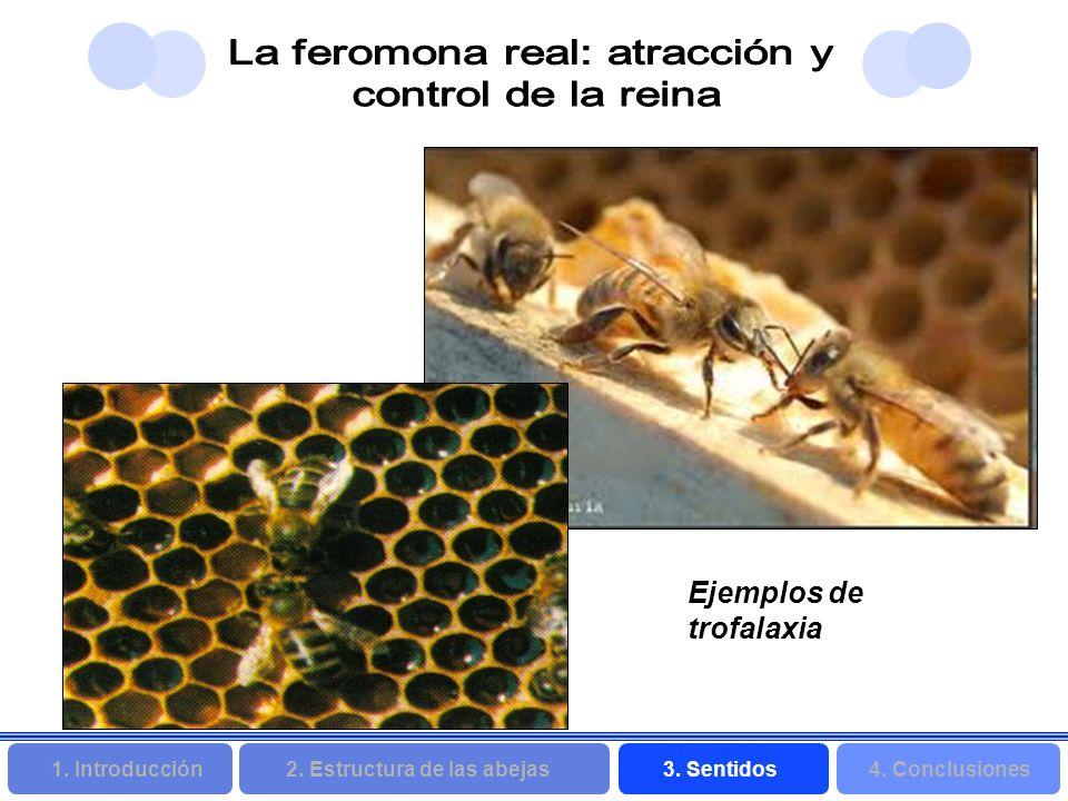 2. Estructura de las abejas 3. Sentidos4. Conclusiones 1. Introducción Ejemplos de trofalaxia