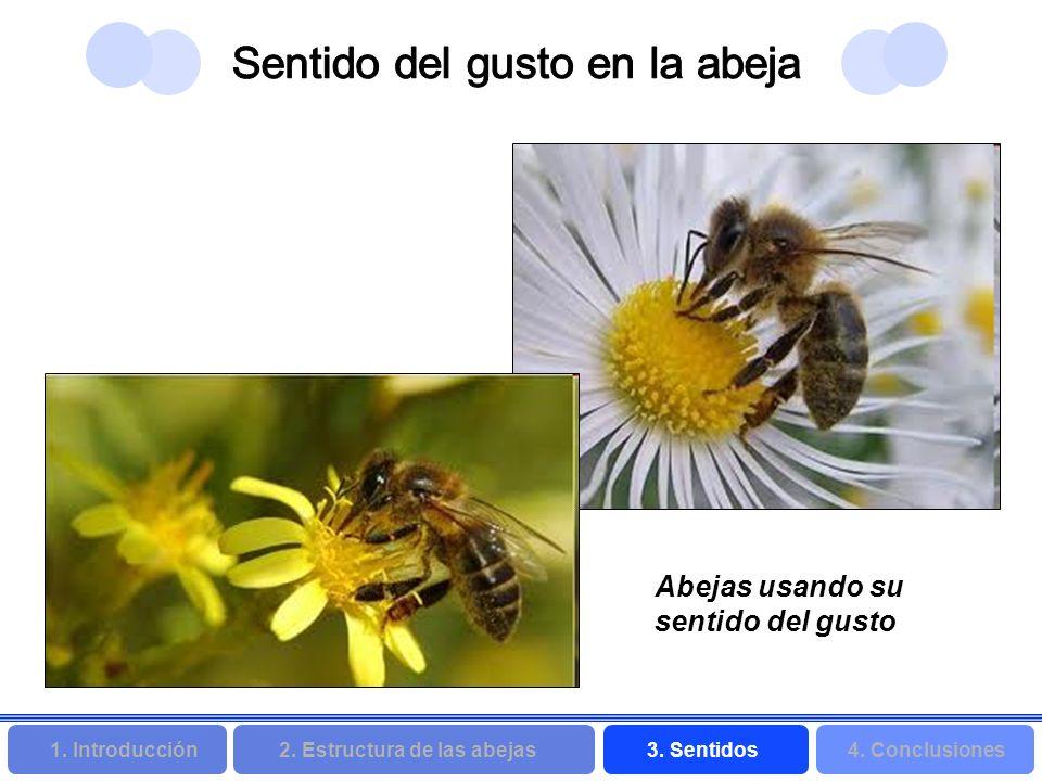 2. Estructura de las abejas 3. Sentidos4. Conclusiones 1. Introducción Abejas usando su sentido del gusto