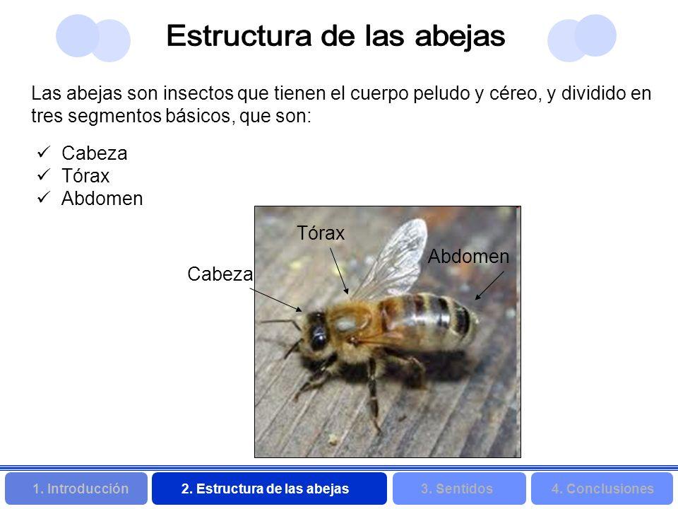 2. Estructura de las abejas 3. Sentidos4. Conclusiones 1. Introducción Cabeza Tórax Abdomen Tórax Cabeza Abdomen Las abejas son insectos que tienen el