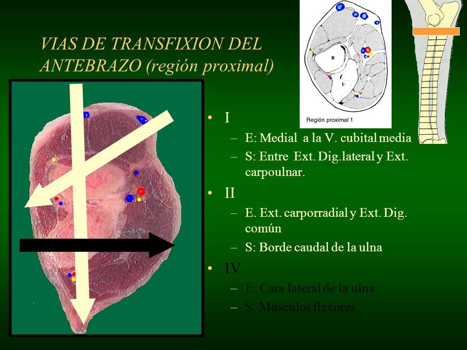 I –E: Medial a la V. cubital media –S: Entre Ext. Dig.lateral y Ext. carpoulnar. II –E. Ext. carporradial y Ext. Dig. común –S: Borde caudal de la uln