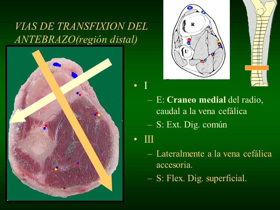 VIAS DE TRANSFIXION DEL ANTEBRAZO(región distal) I –E: Craneo medial del radio, caudal a la vena cefálica –S: Ext. Dig. común III –Lateralmente a la v