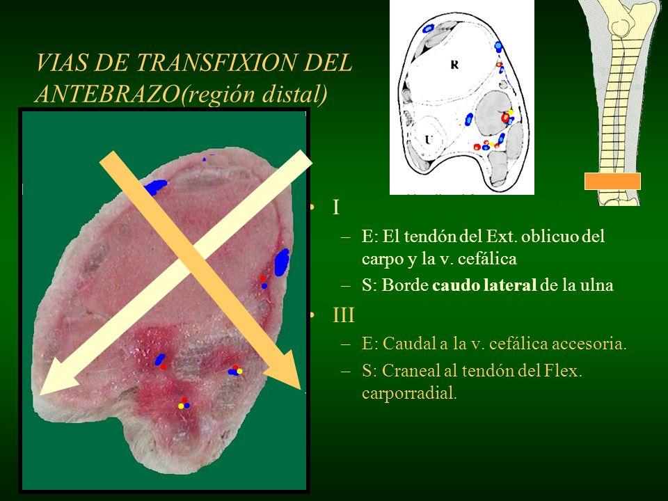 VIAS DE TRANSFIXION DEL ANTEBRAZO(región distal) I –E: El tendón del Ext. oblicuo del carpo y la v. cefálica –S: Borde caudo lateral de la ulna III –E