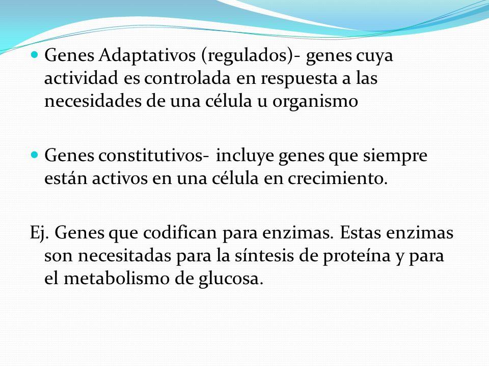 Genes Adaptativos (regulados)- genes cuya actividad es controlada en respuesta a las necesidades de una célula u organismo Genes constitutivos- incluy