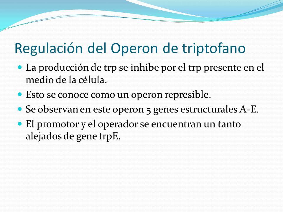 Regulación del Operon de triptofano La producción de trp se inhibe por el trp presente en el medio de la célula. Esto se conoce como un operon represi