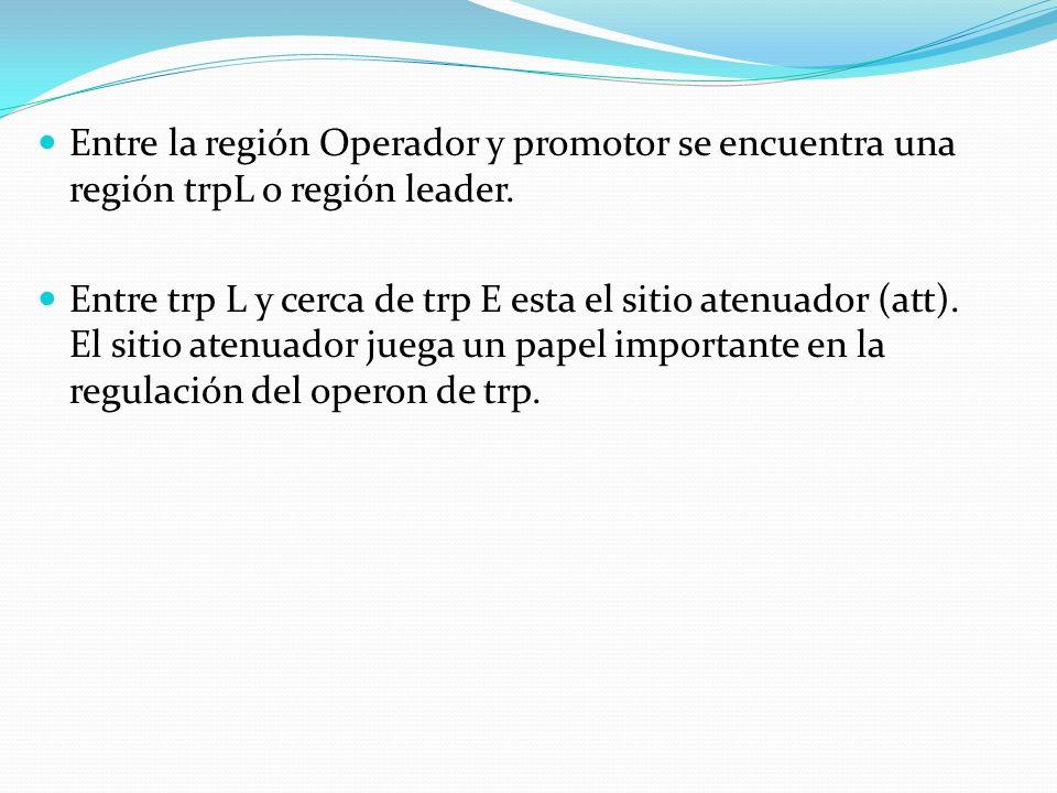 Entre la región Operador y promotor se encuentra una región trpL o región leader. Entre trp L y cerca de trp E esta el sitio atenuador (att). El sitio