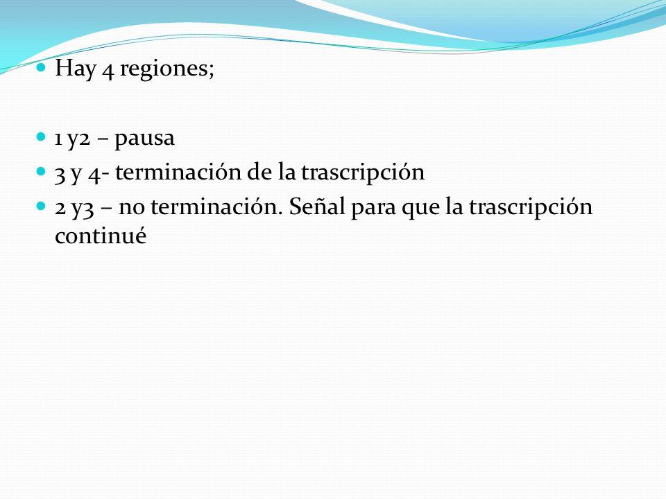 Hay 4 regiones; 1 y2 – pausa 3 y 4- terminación de la trascripción 2 y3 – no terminación. Señal para que la trascripción continué