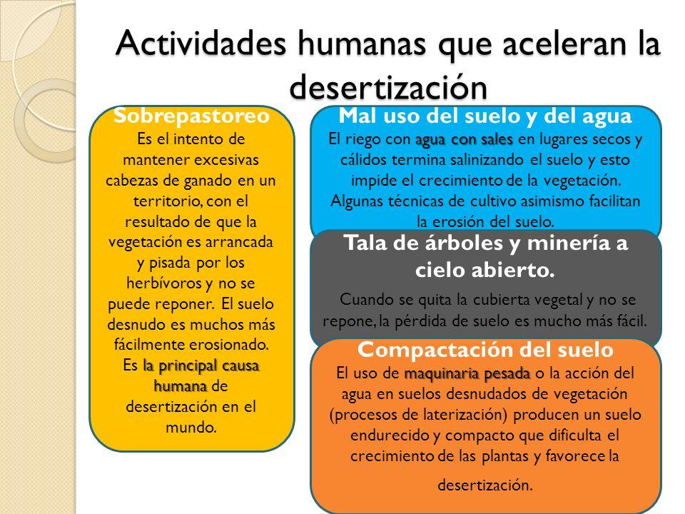 Actividades humanas que aceleran la desertización Sobrepastoreo la principal causa humana Es el intento de mantener excesivas cabezas de ganado en un