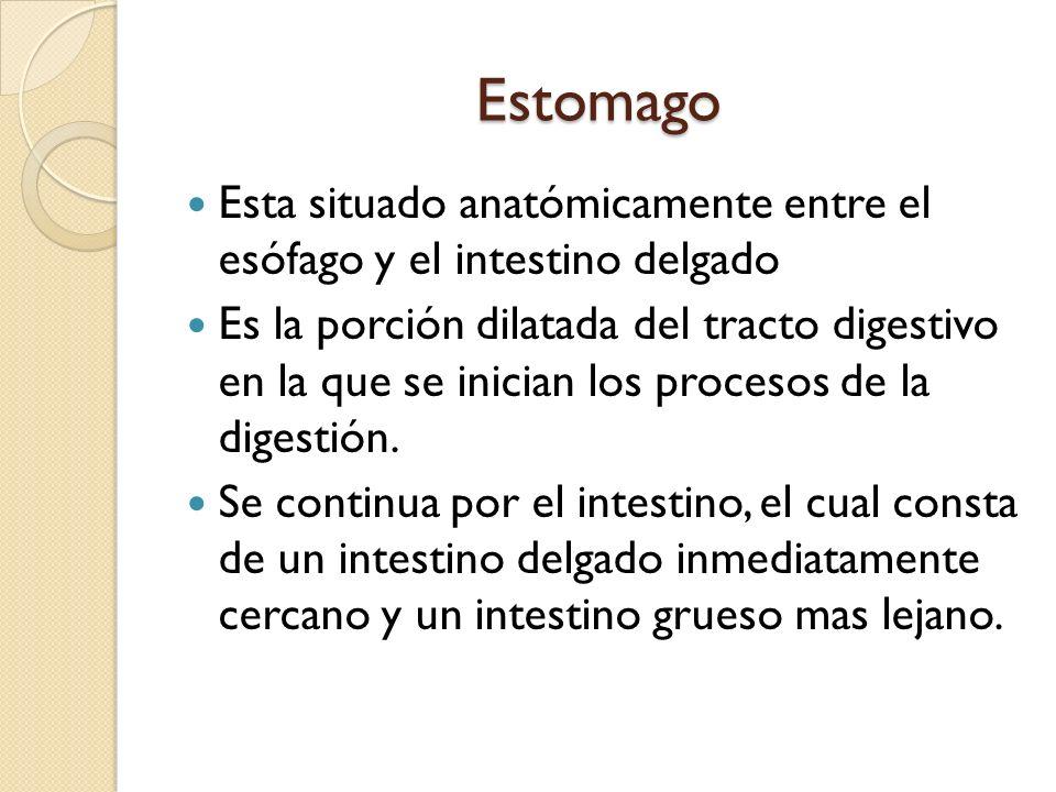 Estomago Esta situado anatómicamente entre el esófago y el intestino delgado Es la porción dilatada del tracto digestivo en la que se inician los proc