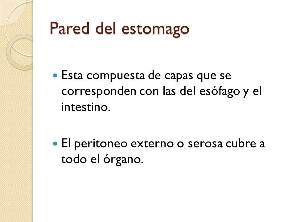 Pared del estomago Esta compuesta de capas que se corresponden con las del esófago y el intestino. El peritoneo externo o serosa cubre a todo el órgan
