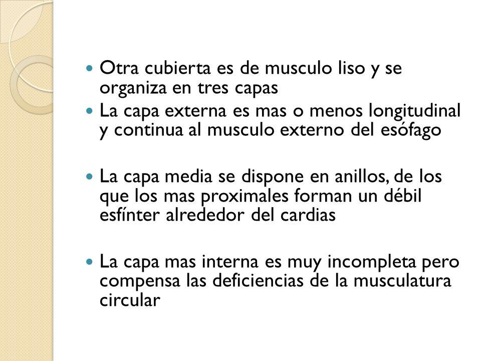 Otra cubierta es de musculo liso y se organiza en tres capas La capa externa es mas o menos longitudinal y continua al musculo externo del esófago La