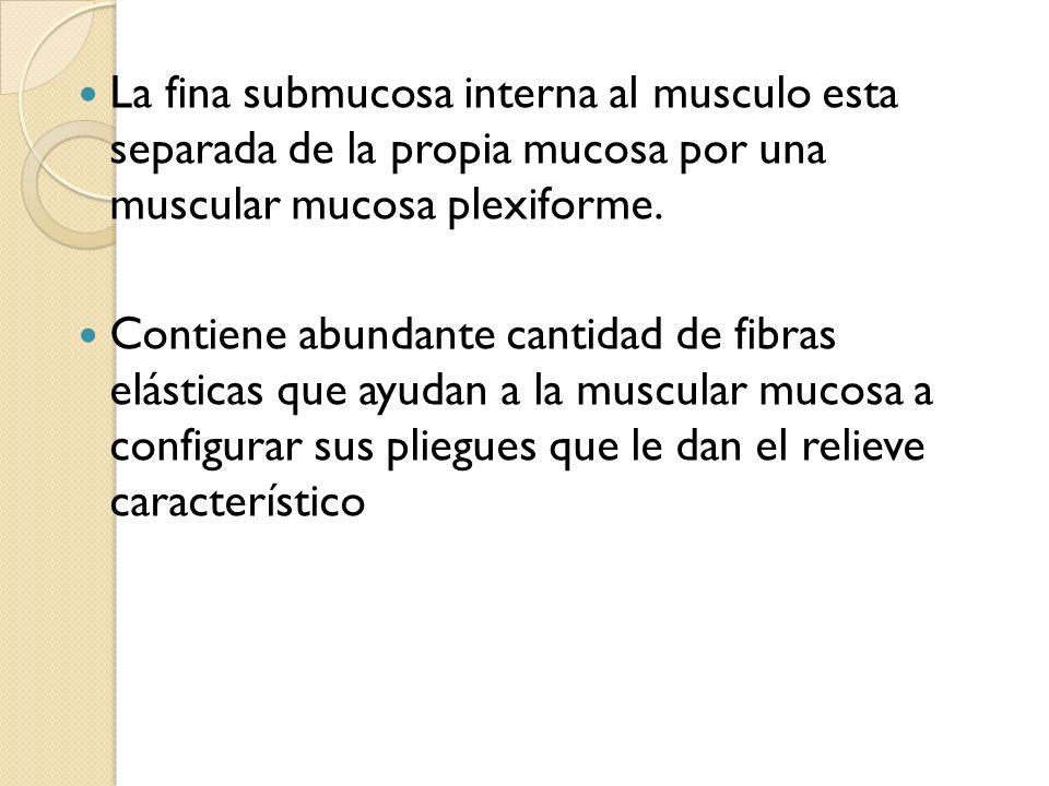 La fina submucosa interna al musculo esta separada de la propia mucosa por una muscular mucosa plexiforme. Contiene abundante cantidad de fibras elást