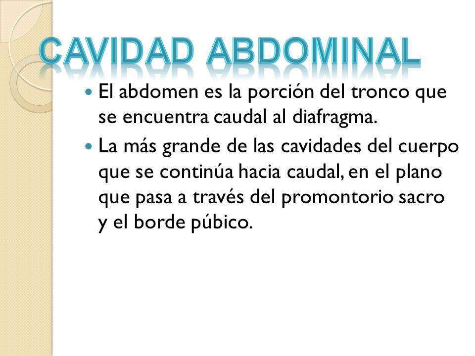 El abdomen es la porción del tronco que se encuentra caudal al diafragma. La más grande de las cavidades del cuerpo que se continúa hacia caudal, en e