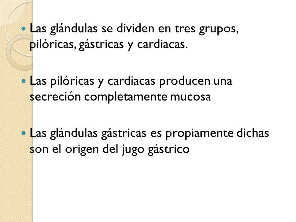 Las glándulas se dividen en tres grupos, pilóricas, gástricas y cardiacas. Las pilóricas y cardiacas producen una secreción completamente mucosa Las g