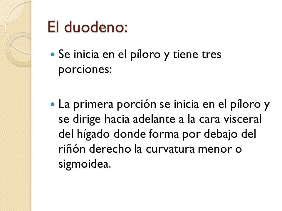 El duodeno: Se inicia en el píloro y tiene tres porciones: La primera porción se inicia en el píloro y se dirige hacia adelante a la cara visceral del