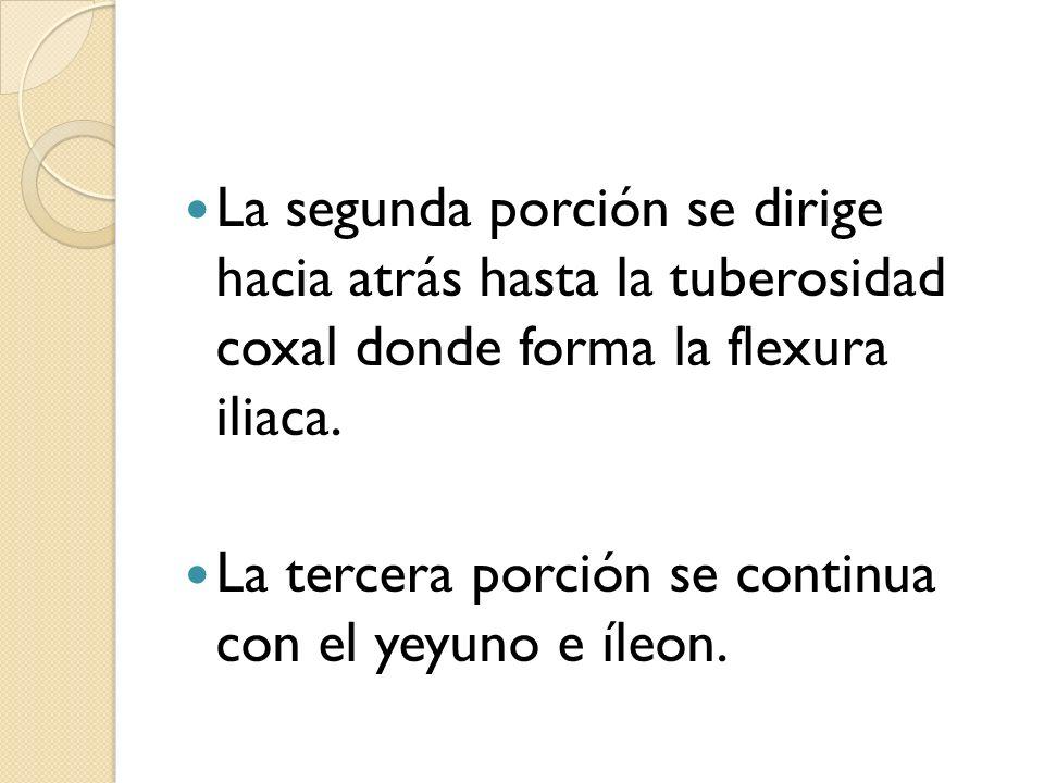 La segunda porción se dirige hacia atrás hasta la tuberosidad coxal donde forma la flexura iliaca. La tercera porción se continua con el yeyuno e íleo