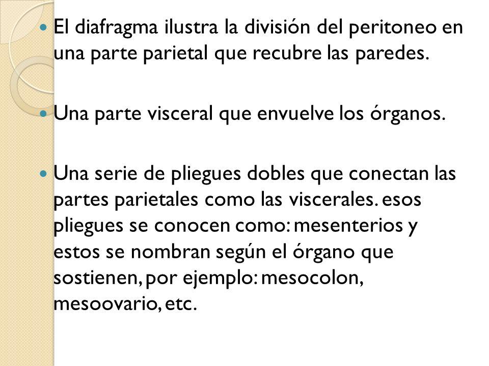 El diafragma ilustra la división del peritoneo en una parte parietal que recubre las paredes. Una parte visceral que envuelve los órganos. Una serie d