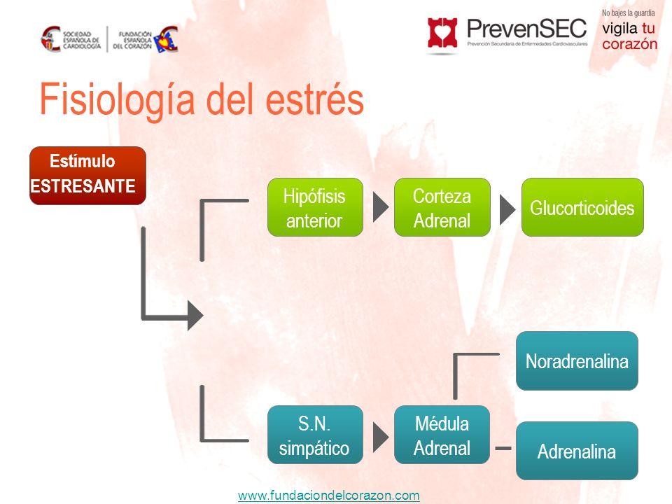 www.fundaciondelcorazon.com Médula Adrenal Fisiología del estrés Hipófisis anterior Corteza Adrenal S.N. simpático Noradrenalina Adrenalina Glucortico